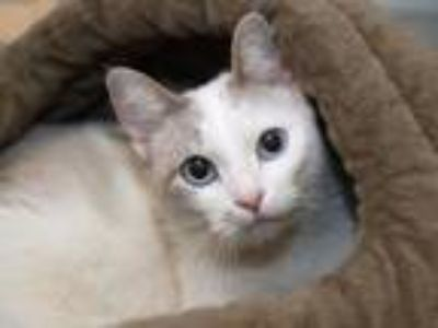 Adopt Lady Catherine a Domestic Short Hair