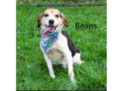Adopt Beans a Beagle / Mixed dog in Pittsburgh, PA (25837233)