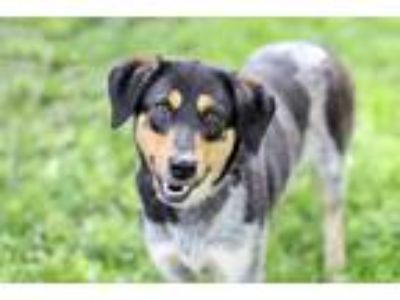 Adopt BLUE LADY- a Australian Cattle Dog / Mixed dog in Spring Valley