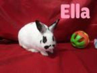 Adopt Ella a White English Spot / Mixed (short coat) rabbit in Paramount