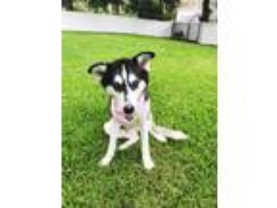 Adopt Tiana a Black - with White Siberian Husky / Mixed dog in Winter Springs