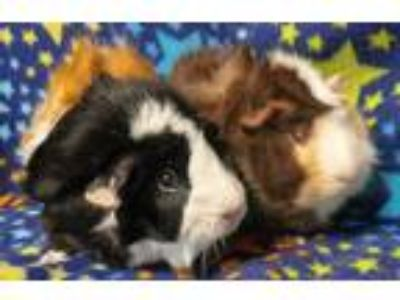 Adopt Coco a Calico Guinea Pig small animal in Highland, IN (25543002)