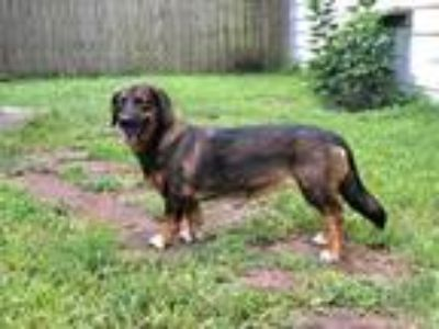 Adopt Dahlia a Black Basset Hound / German Shepherd Dog / Mixed dog in Beaumont