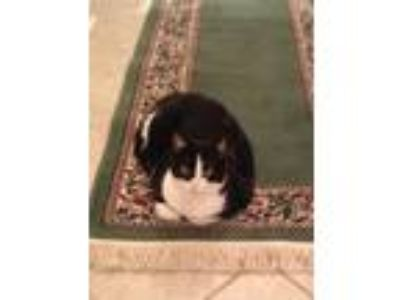 Adopt Jolie a Black & White or Tuxedo Domestic Shorthair cat in Hermitage
