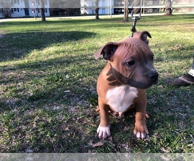 American Bully PUPPY FOR SALE ADN-131269 - ABKC and UKC registered