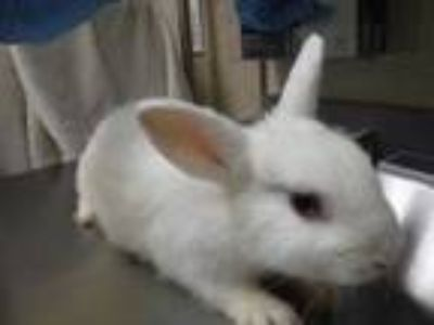 Adopt Papa Smurf a White American / Mixed rabbit in Honolulu, HI (25831284)