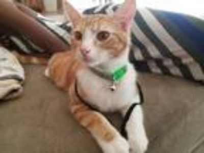 Adopt Rascal a Orange or Red Domestic Shorthair / Mixed cat in Snellville