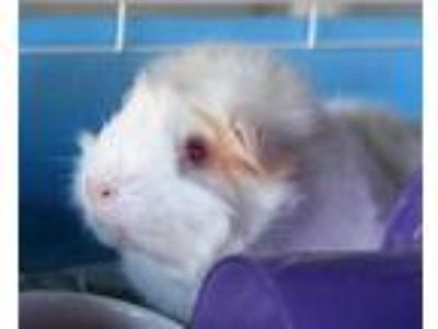 Adopt Lilo a White Guinea Pig / Mixed small animal in Honolulu, HI (25353362)