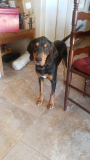 Blk & tan purebred coon hound rehoming