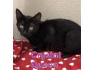 Adopt Crystal Queen 14157 a All Black Domestic Shorthair (short coat) cat in