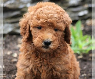 Goldendoodle-Poodle (Standard) Mix PUPPY FOR SALE ADN-130733 - f1b standard
