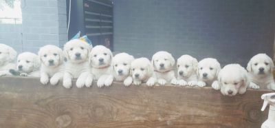 AKC English Golden Retriever Puppies