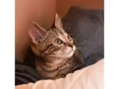 Adopt Agatha a Gray, Blue or Silver Tabby Domestic Shorthair / Mixed cat in