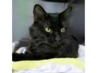 Adopt Kaitlin a All Black Domestic Shorthair cat in Northbrook, IL (24719463)