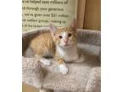 Adopt Felix a Orange or Red Tabby Domestic Shorthair (short coat) cat in