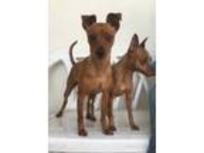 Adopt Bingo a Red/Golden/Orange/Chestnut Miniature Pinscher / Mixed dog in