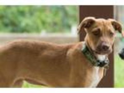 Adopt Ivory a Tan/Yellow/Fawn Retriever (Unknown Type) / Mixed dog in Fort