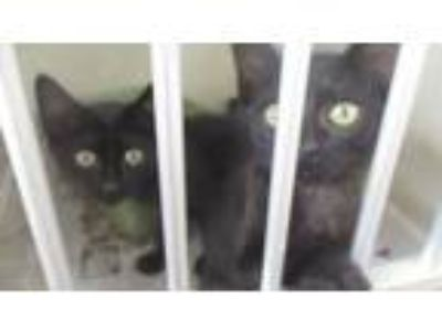 Adopt Twins a Domestic Shorthair / Mixed cat in Homer Glen, IL (25866755)