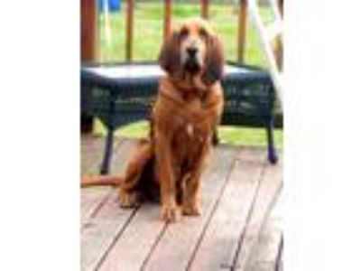Adopt Trixie a Red/Golden/Orange/Chestnut - with Black Bloodhound / Mixed dog in