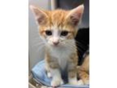 Adopt Paulie a Domestic Medium Hair, Extra-Toes Cat / Hemingway Polydactyl