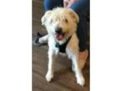 Adopt Snickers a Schnauzer, Standard Poodle
