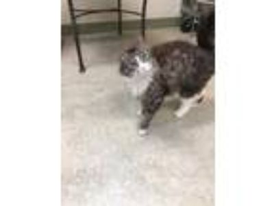 Adopt Sally a Gray or Blue Domestic Mediumhair / Domestic Shorthair / Mixed cat