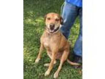 Adopt Bear a Brown/Chocolate - with Tan Catahoula Leopard Dog / Shepherd