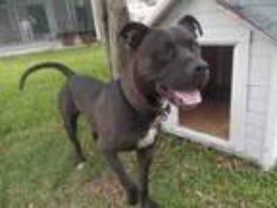 Adopt KING a Staffordshire Bull Terrier