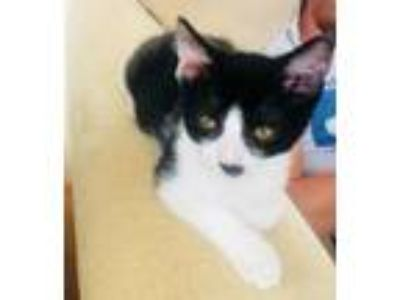 Adopt Stewie a Domestic Short Hair