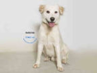 Adopt a White Labrador Retriever / Australian Shepherd / Mixed dog in Moreno
