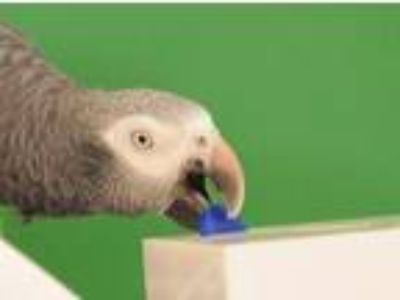 Adopt Argo a African Grey bird in Asheville, NC (13481389)