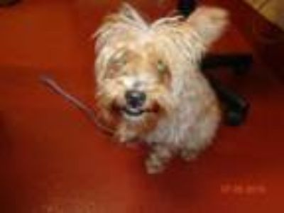 Adopt Sunshine a Yorkshire Terrier