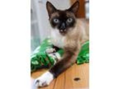 Adopt Maisey a Brown or Chocolate (Mostly) Snowshoe / Mixed (short coat) cat in