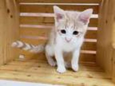 Adopt TIMON a White Domestic Shorthair / Domestic Shorthair / Mixed cat in