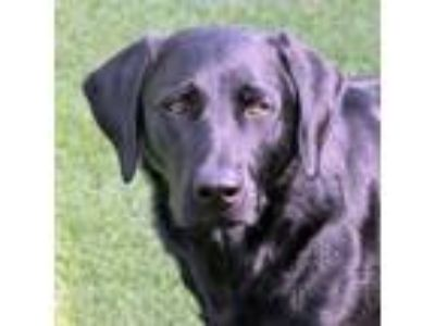 Adopt Klause a Black German Shorthaired Pointer / Mixed dog in Loxahatchee