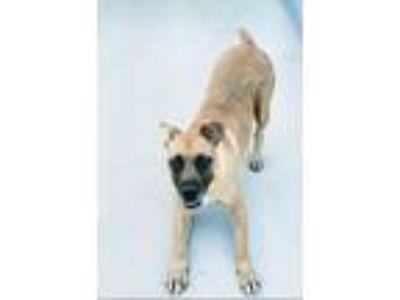 Adopt Lady a Boxer, German Shepherd Dog