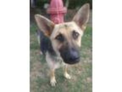 Adopt Princesa a Black German Shepherd Dog / Mixed dog in Cedar Hill