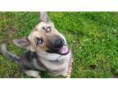 Adopt JoJo a Husky, German Shepherd Dog
