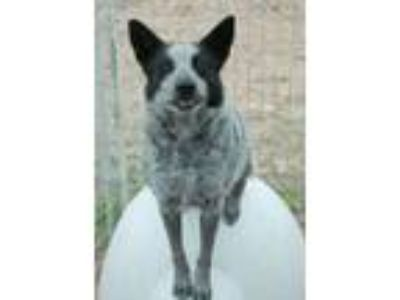 Adopt Cowgirl a Australian Cattle Dog / Blue Heeler