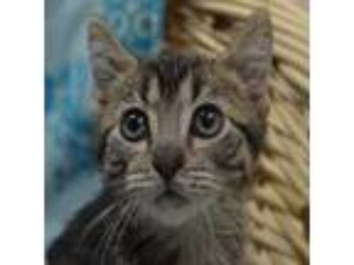 Adopt Ted a Brown Tabby Domestic Shorthair (short coat) cat in Wheaton