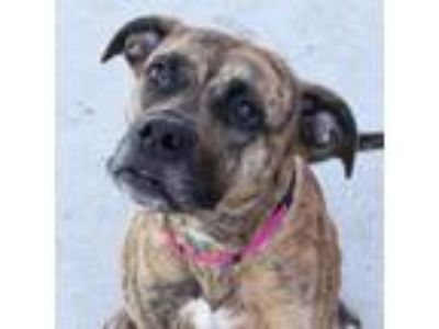 Adopt Tristyn a Boxer, American Staffordshire Terrier