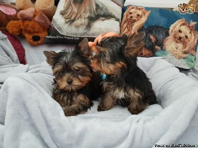 VERY Unique Yorkie Puppies for You!