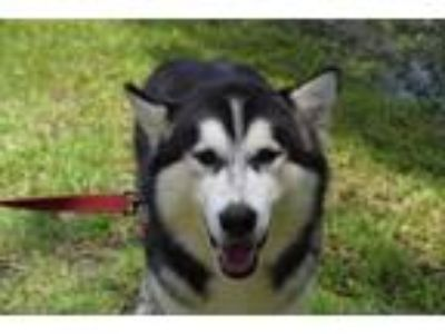Adopt Storm a Black - with White Alaskan Malamute / Mixed dog in Jupiter