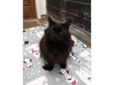 Adopt Smokey a All Black Domestic Longhair / Domestic Shorthair / Mixed cat in