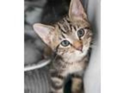 Adopt Tommy a Brown or Chocolate Domestic Shorthair / Domestic Shorthair / Mixed
