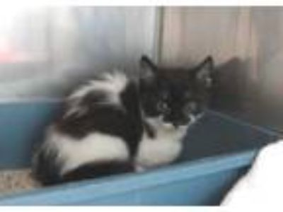 Adopt ZORRO a White (Mostly) Domestic Shorthair / Mixed (short coat) cat in