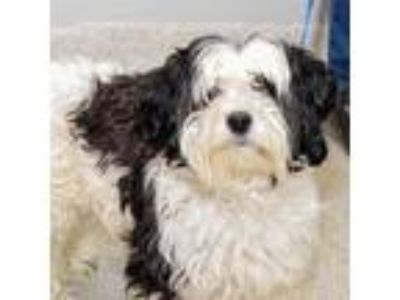 Adopt Sir Bentley a White Mixed Breed (Small) / Mixed dog in Lansing