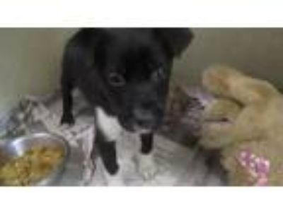 Adopt Little Imp ADOPTION PENDING a Border Collie / Terrier (Unknown Type