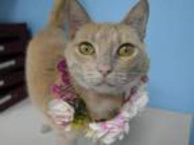 Adopt Ginger a Domestic Shorthair / Mixed cat in Portland, OR (25586132)