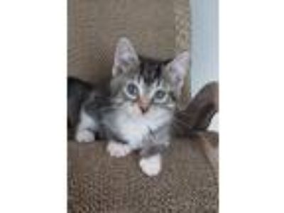 Adopt Bowie a Gray, Blue or Silver Tabby Domestic Shorthair (short coat) cat in